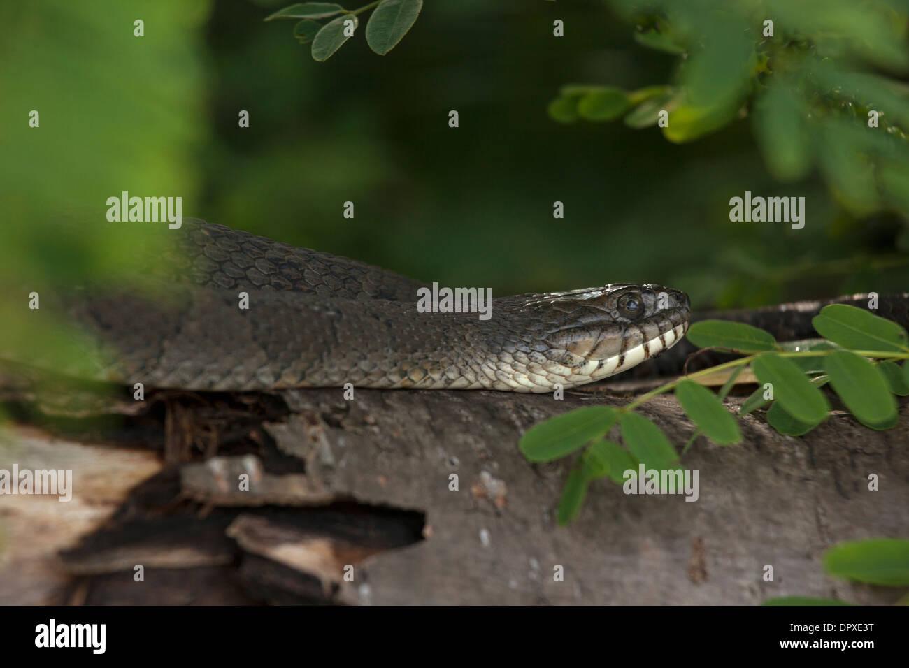 Northern water snake (Nerodia sipedon), New York, gravid female basking - Stock Image