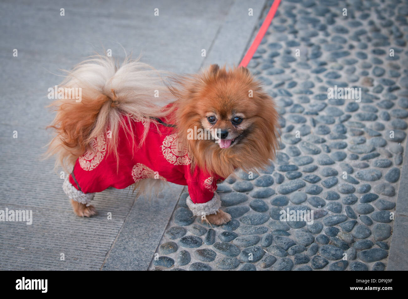 Small Spitz Type Pomeranian Dog Commonly Known As Pom Pom Stock