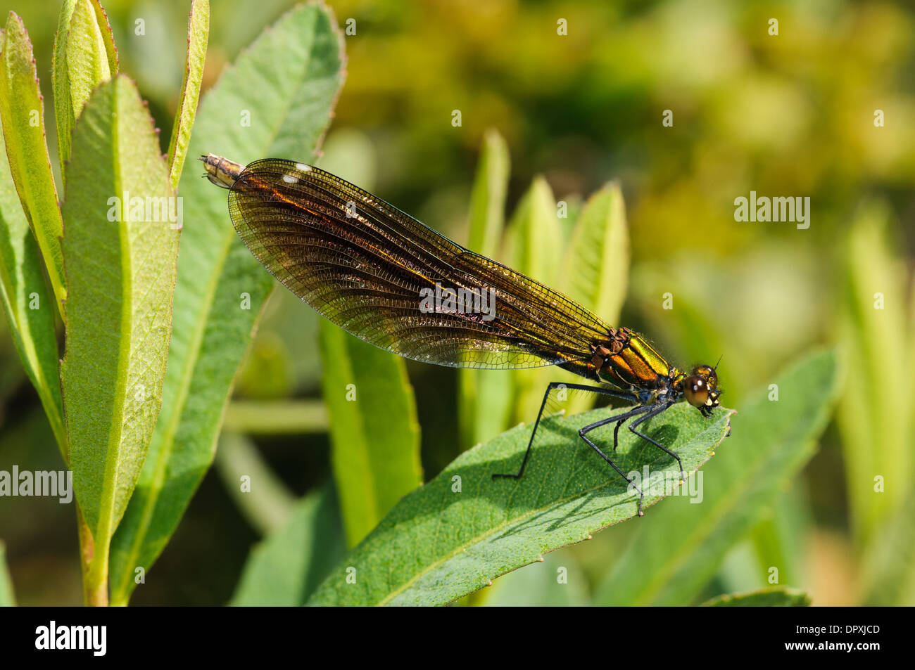 Beautiful Demoiselle (Calopteryx virgo), adult female perched on a leaf at Crockford Stream in the New Forest, Hampshire. Stock Photo