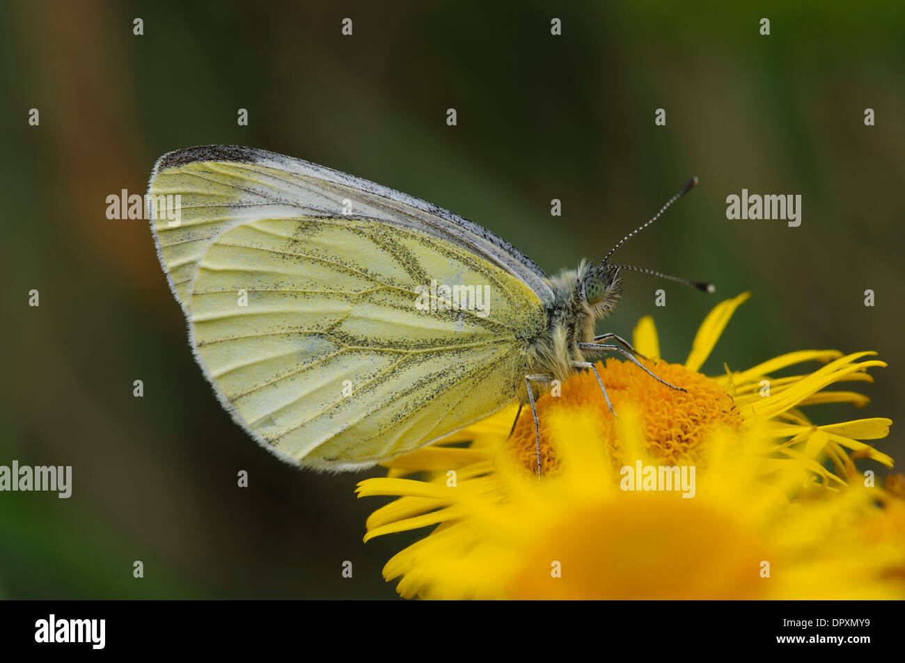 Green-veined White Butterfly (Pieris napi), close-up on the head of an adult perched on a flower of common fleabane - Stock Image