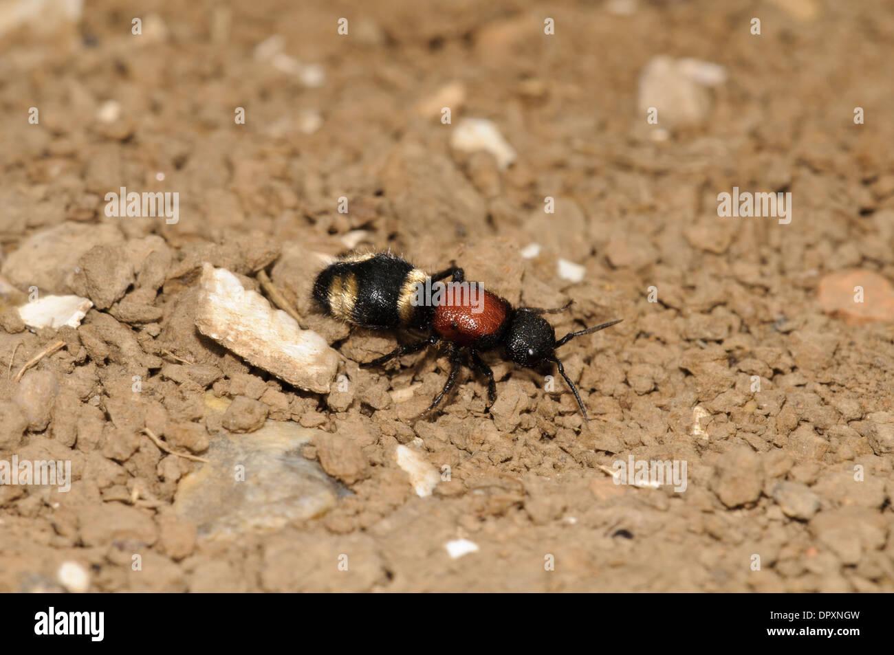 Velvet Ant (Mutilla europaea), wingless female walking over bare earth at Oare Marsh in Kent. September. - Stock Image