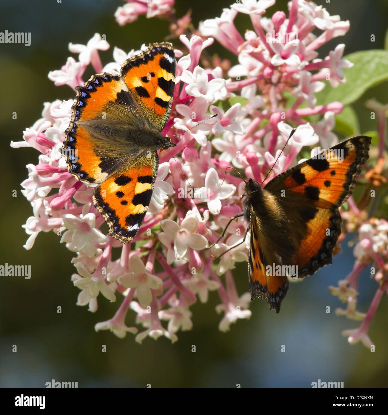 Small tortoiseshell butterflies feeding on Syringa flowers in summer - Stock Image