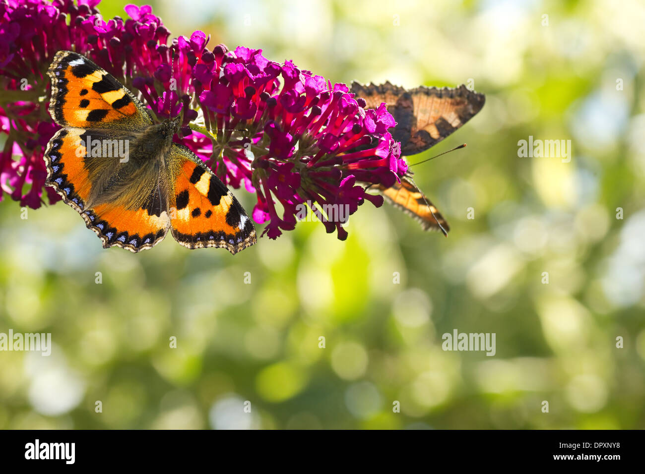 Two Small tottoiseshell butterflies on Butterfly bush in the garden in summer with bokeh background and copyspace - Stock Image