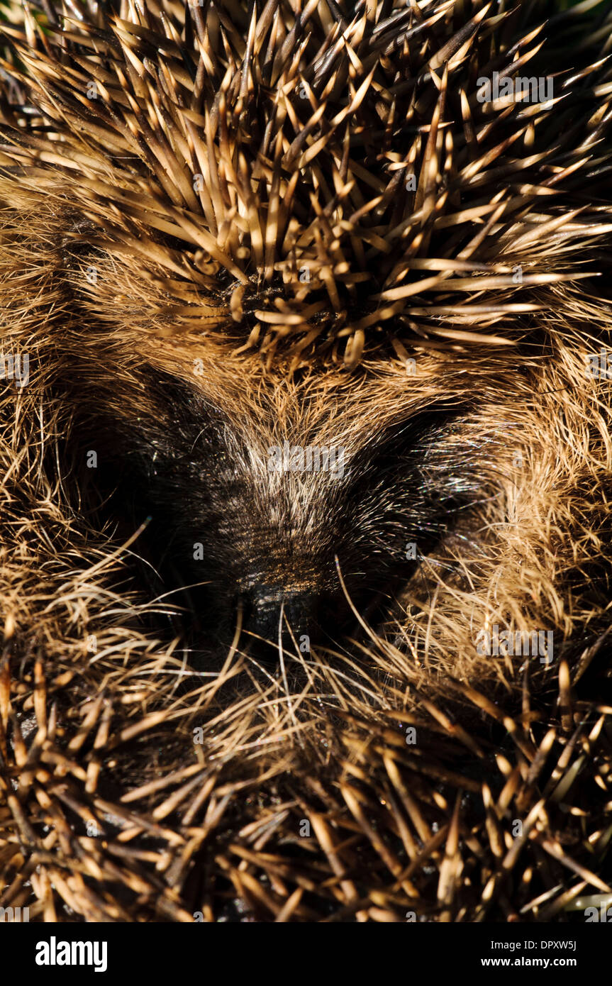 Hedgehog (Erinaceus europaeus) curled into a protective ball in grassland near Ripon, North Yorkshire. September. - Stock Image