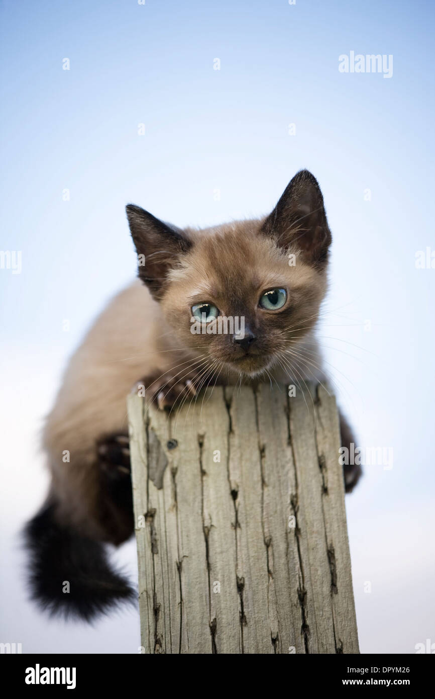 Siamese kitten on fence post looking down - Stock Image