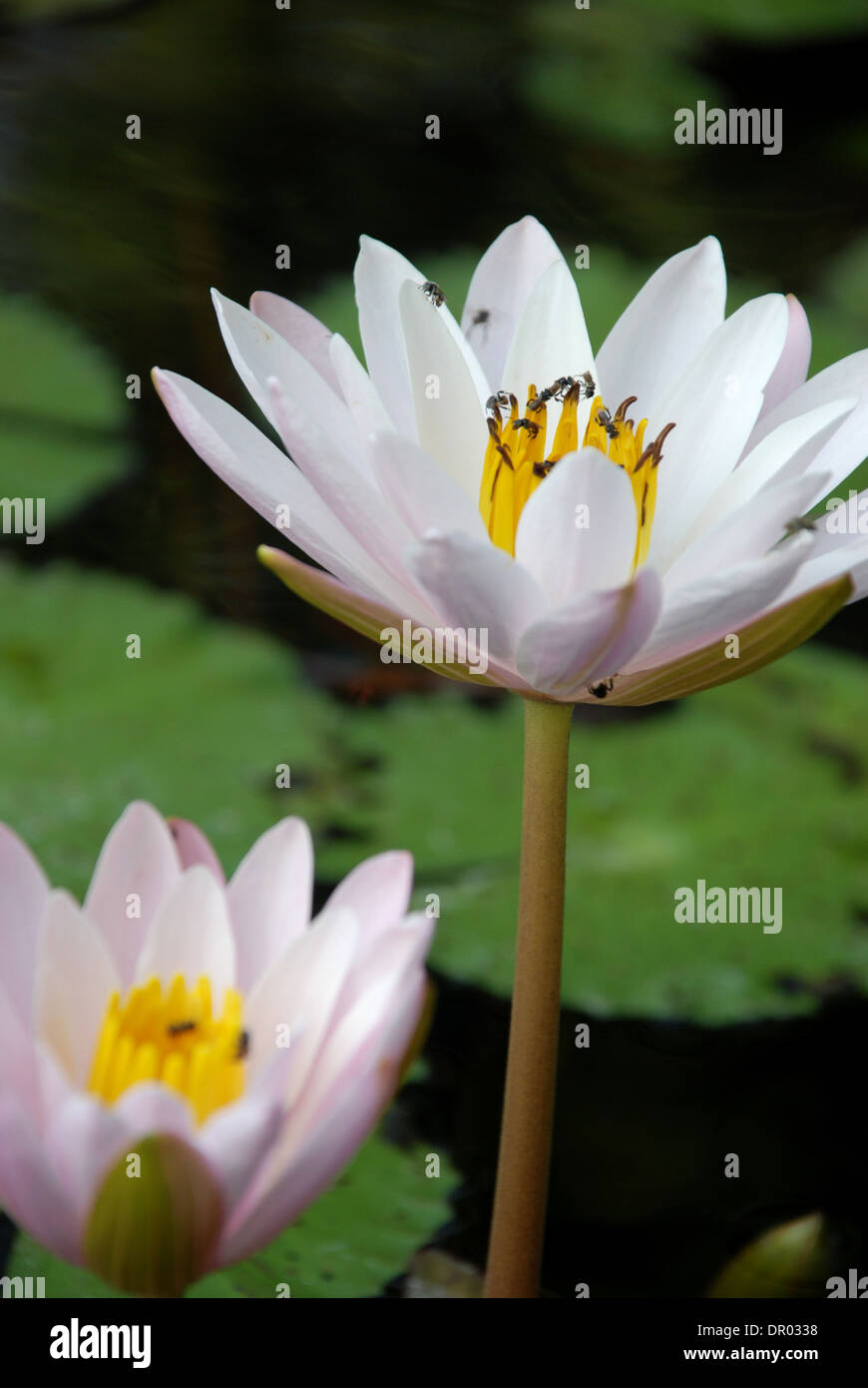 Water Lily Scent Of Asian Exotic Flower Stock Photo 65770636 Alamy