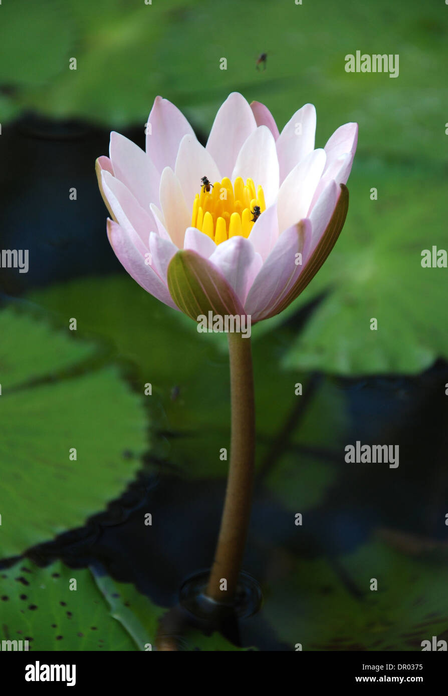 Water Lily Scent Of Asian Exotic Flower Stock Photo 65770745 Alamy