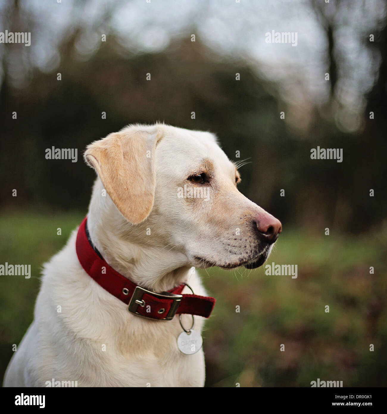 Labrador dog portrait - Stock Image