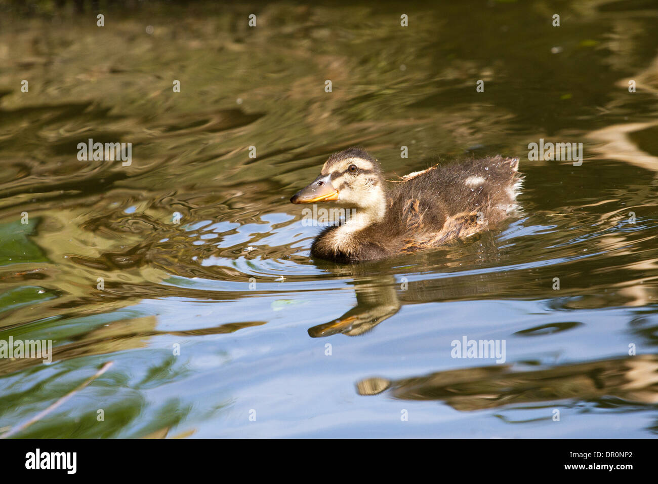 Young mallard chick - Anas platyrhynchos, swimming on a river, Thames, England, UK - Stock Image