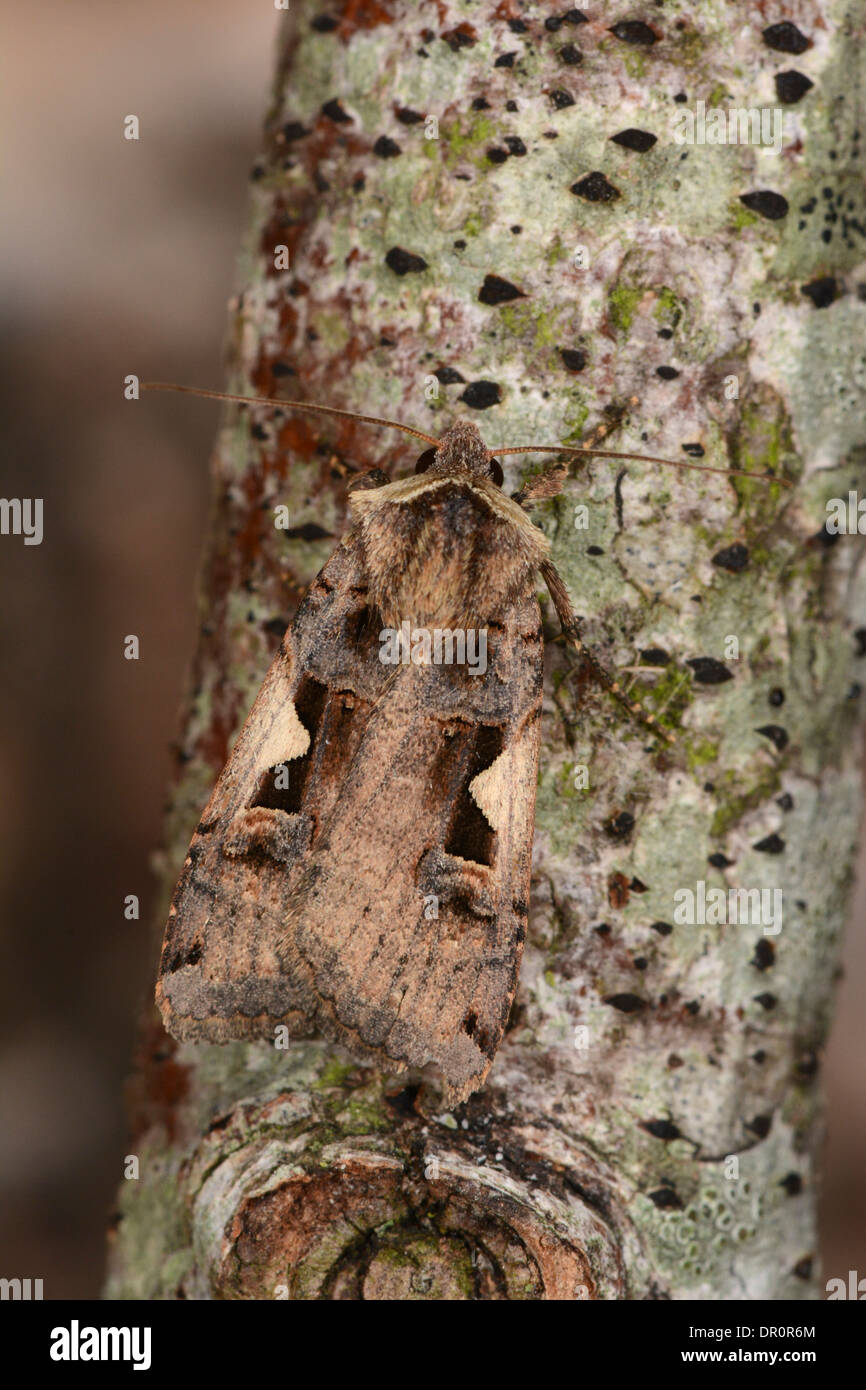 Setaceous Hebrew Character Moth ( Xestia c-nigrum) at rest on branch, Oxfordshire, England, August - Stock Image