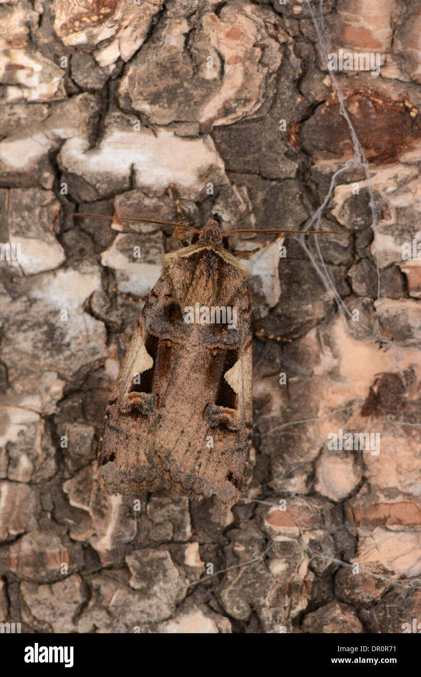 Setaceous Hebrew Character Moth ( Xestia c-nigrum) at rest on bark, Oxfordshire, England, August - Stock Image