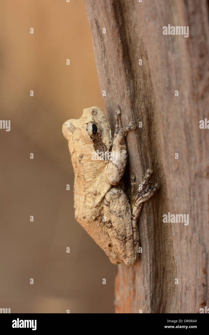 Mozambique Forest Tree Frog (Leptopelis mossambicus) at rest on tree trunk, Kafue National Park, Zambia, September - Stock Image