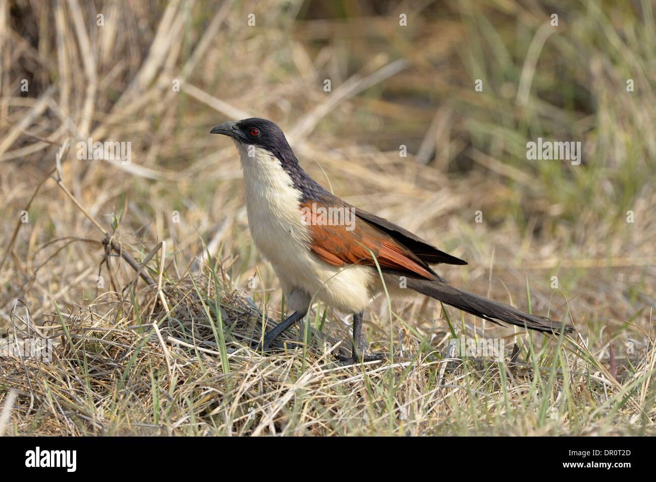 Coppery-tailed Coucal (Centropus cupreicaudus) foraging amongst the grass, Kafue National Park, Zambia, September - Stock Image
