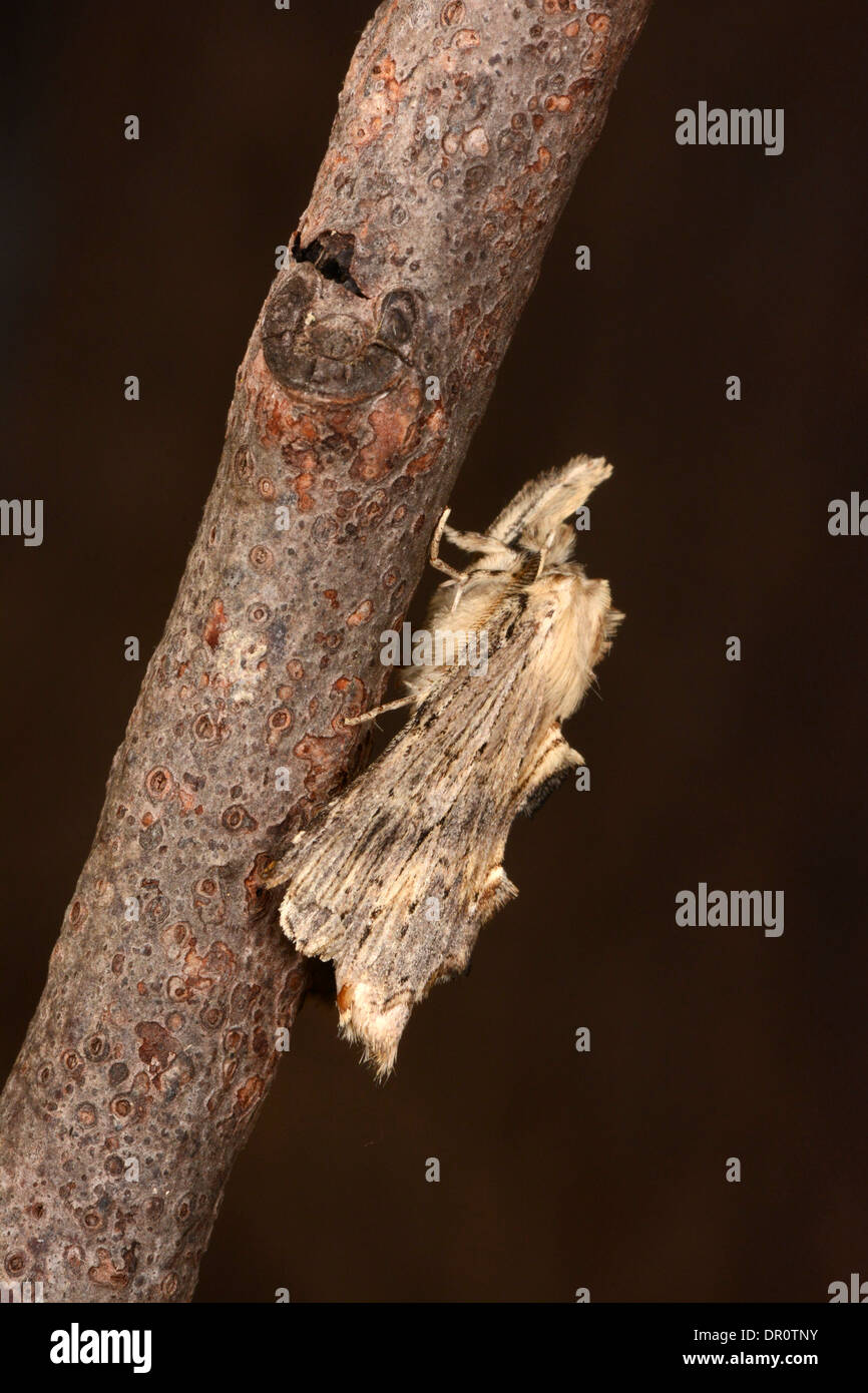 Pale Prominent Moth (Pterostoma palpina) adult at rest on twig, Oxfordshire, England, August - Stock Image
