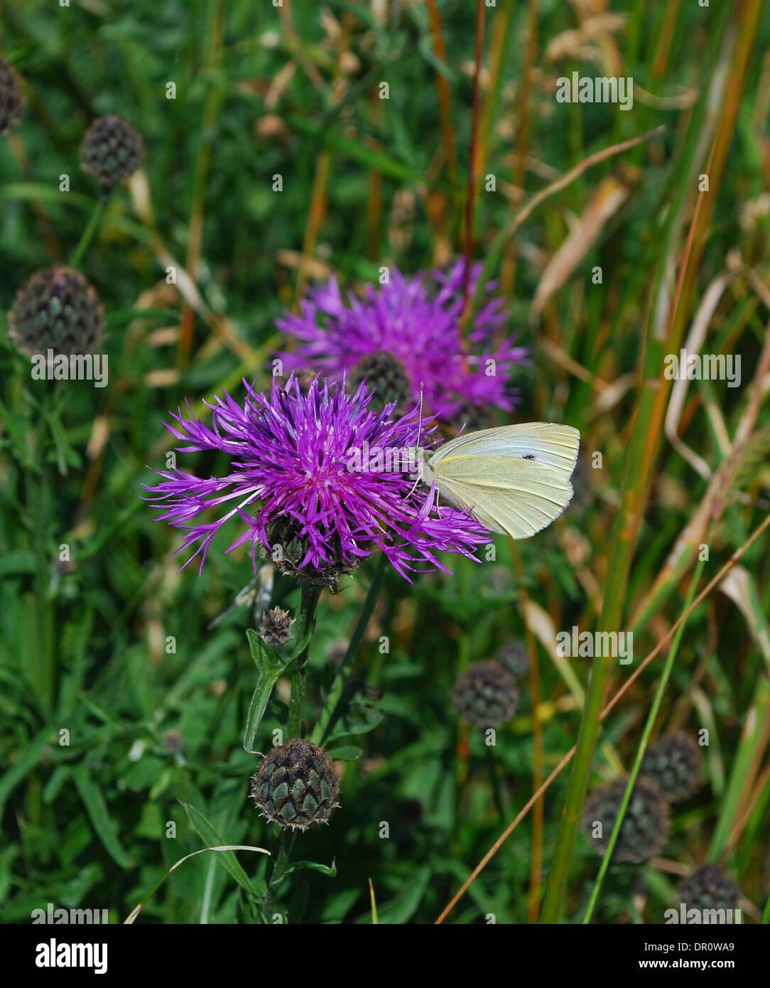 Aero island,  butterfly , Fyn, Denmark, Scandinavia, Europe - Stock Image