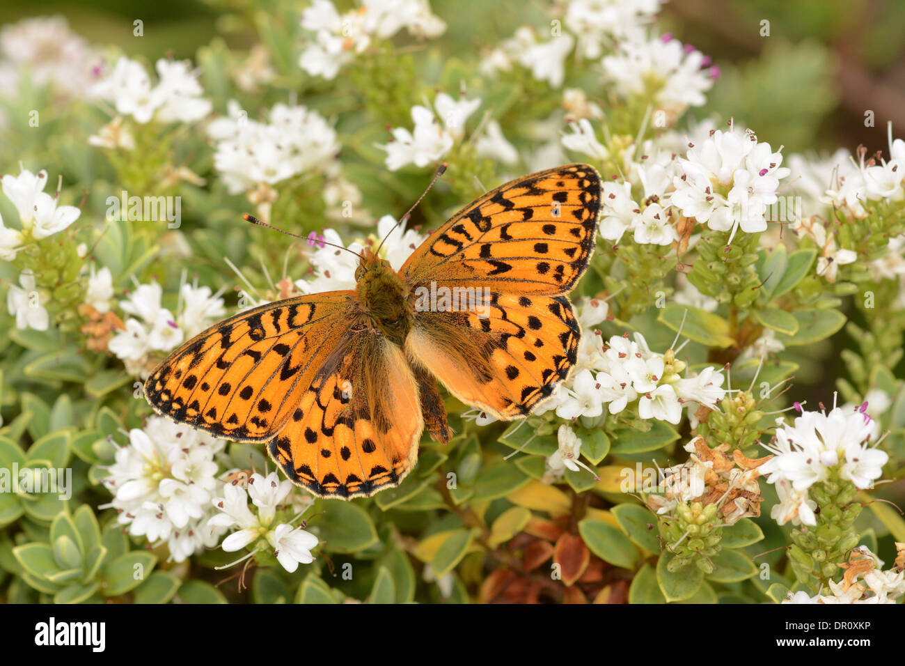 Dark Green Fritillary Butterfly (Argynnis aglaja) adult with wings spread, Oxfordshire, England, July - Stock Image