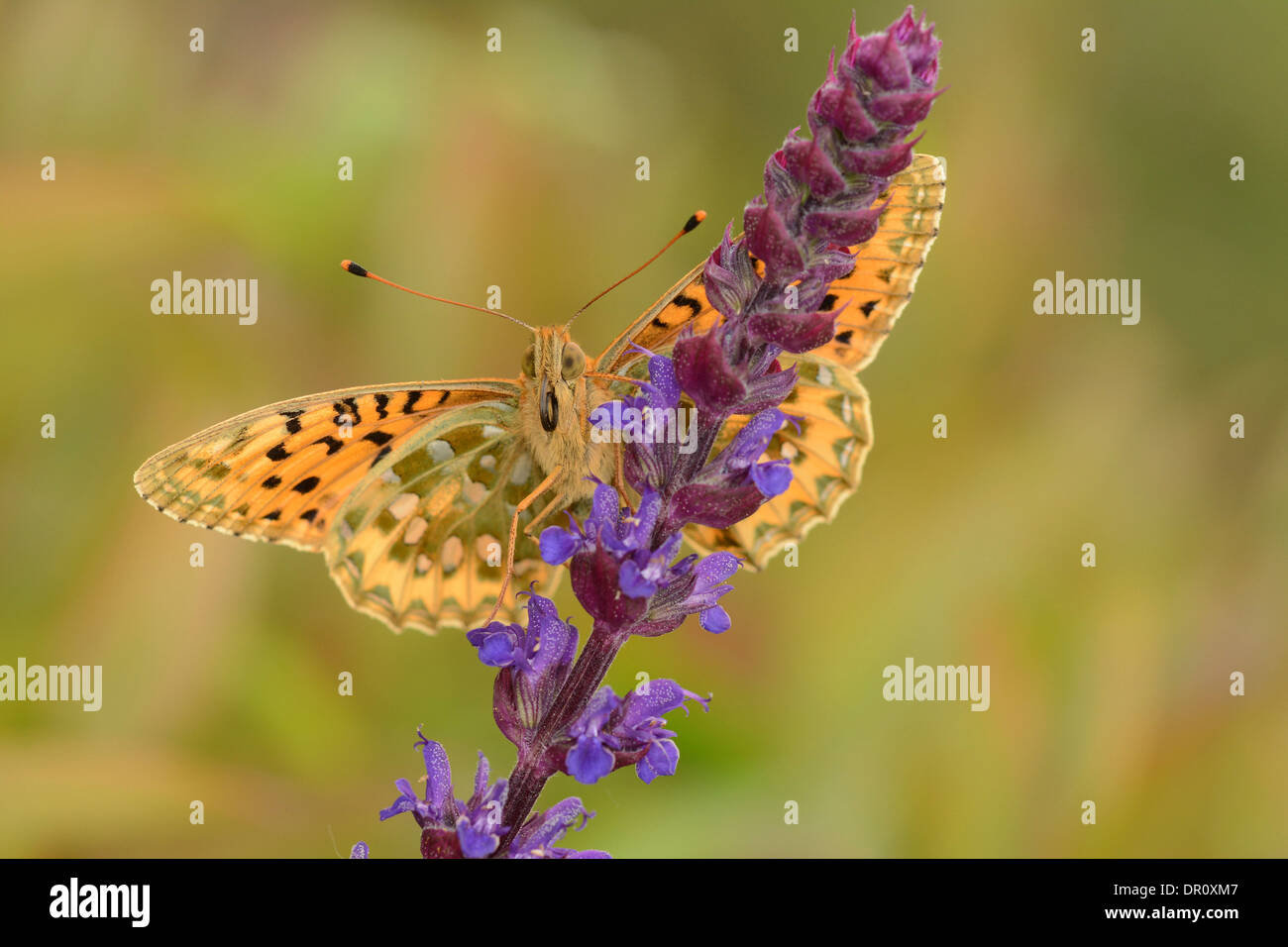 Dark Green Fritillary Butterfly (Argynnis aglaja) adult with wings spread, view of underside, Oxfordshire, England, Stock Photo