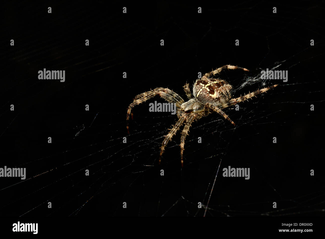 Garden Orb Spider (Araneus diadematus) sat in its web, Oxfordshire, England, September - Stock Image