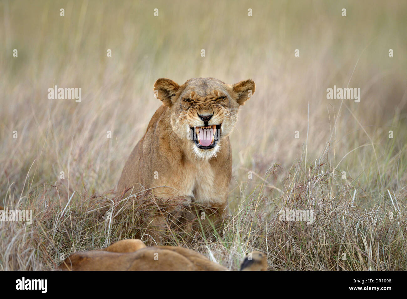 African Lion (Panthera leo) female lioness snarling, Kafue National Park, Zambia, September - Stock Image