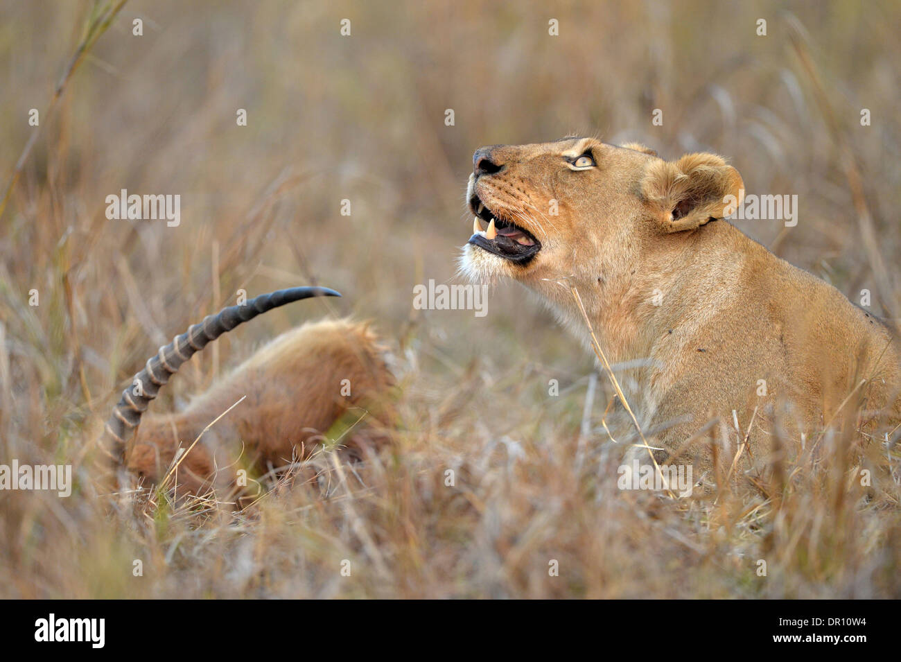 African Lion (Panthera leo) female lioness lying in the grass next to Puku kill, looking upwards, Kafue National Park, Zambia, S - Stock Image