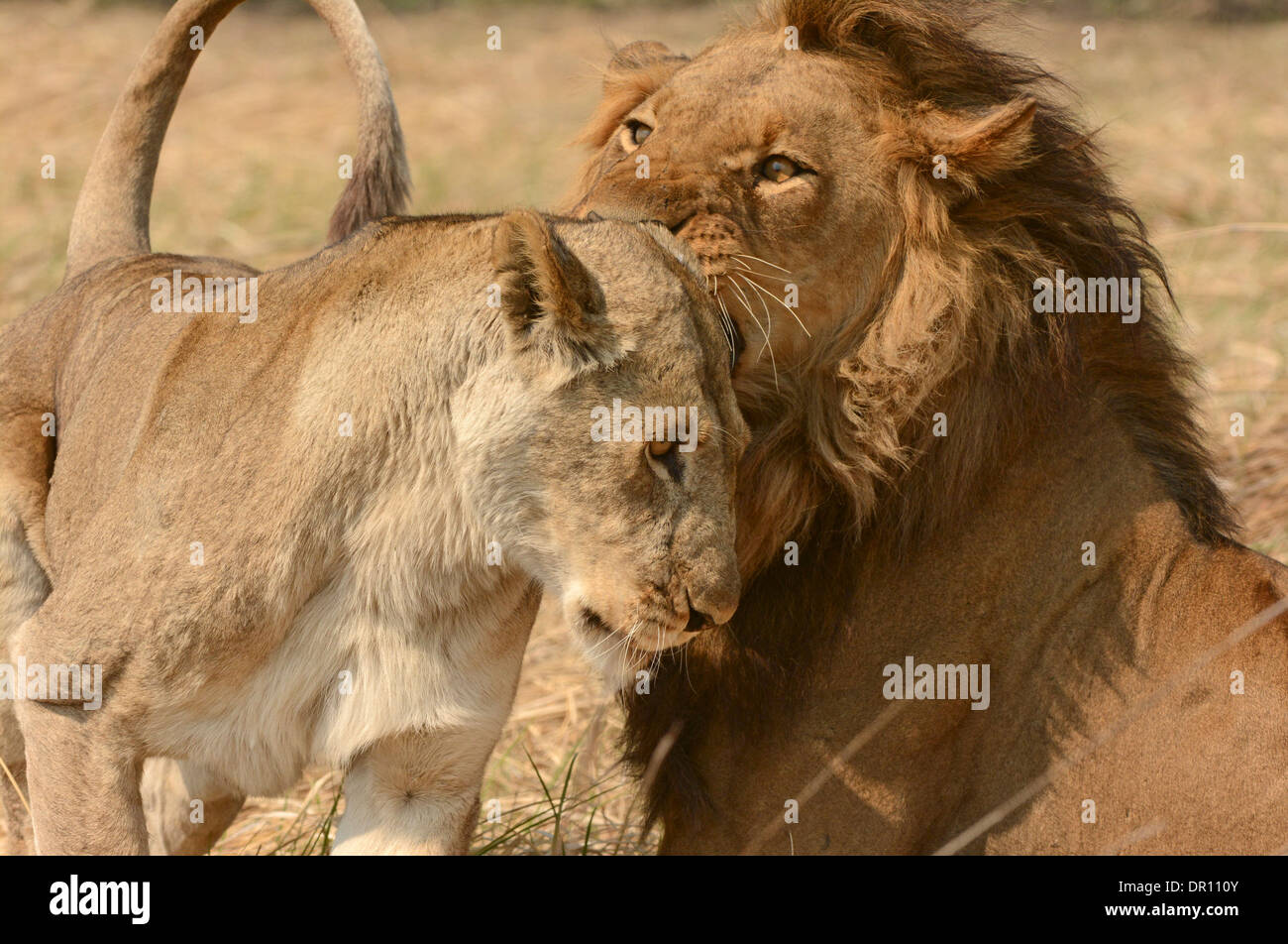 African Lion (Panthera leo) pair nuzzling each other prior to mating, Kafue National Park, Zambia, September - Stock Image