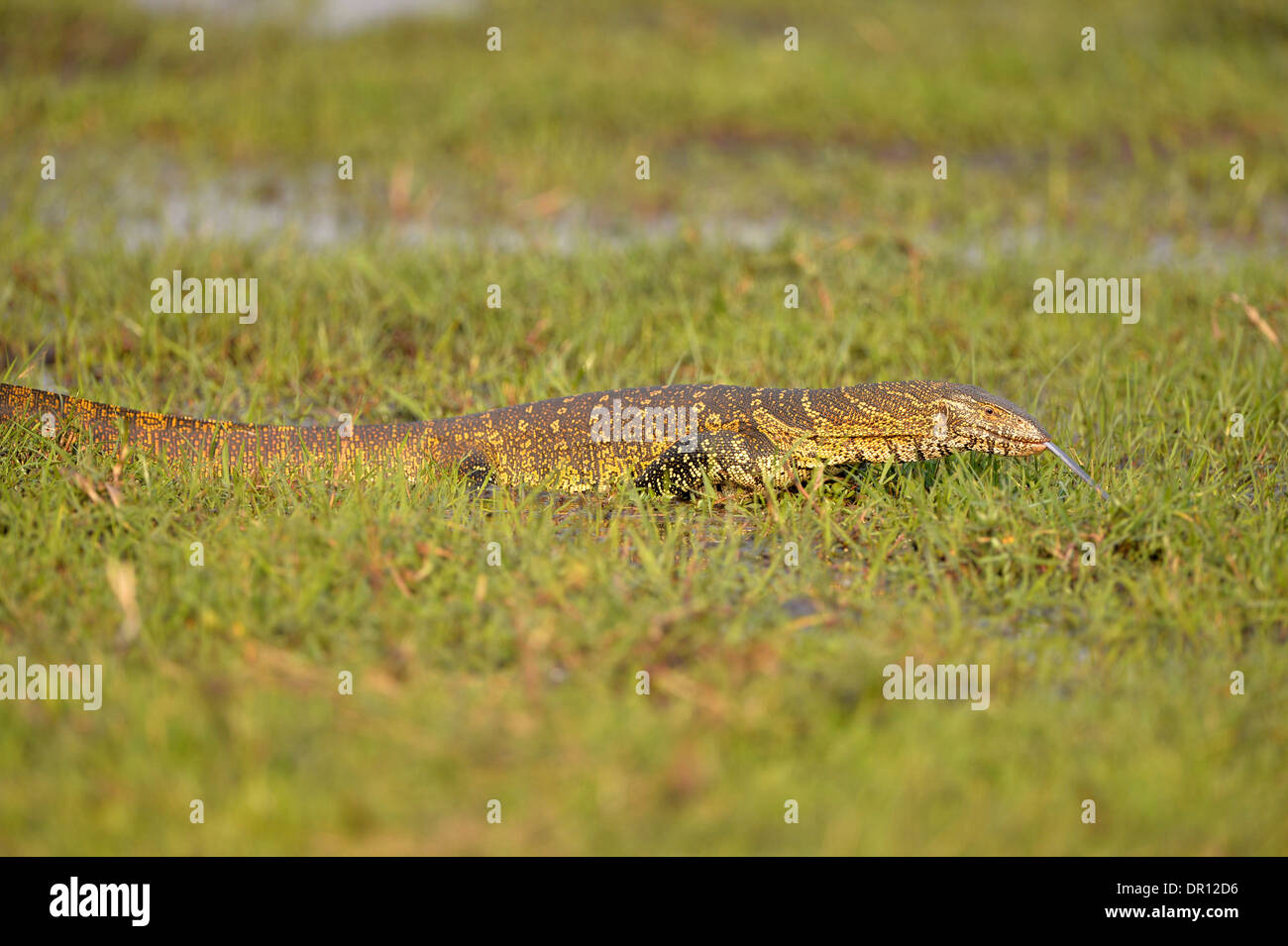 Nile Monitor Lizard (Varanus niloticus) walking through waterlogged grass, witrh tongue extended, Kafue National Park, Zambia, S - Stock Image