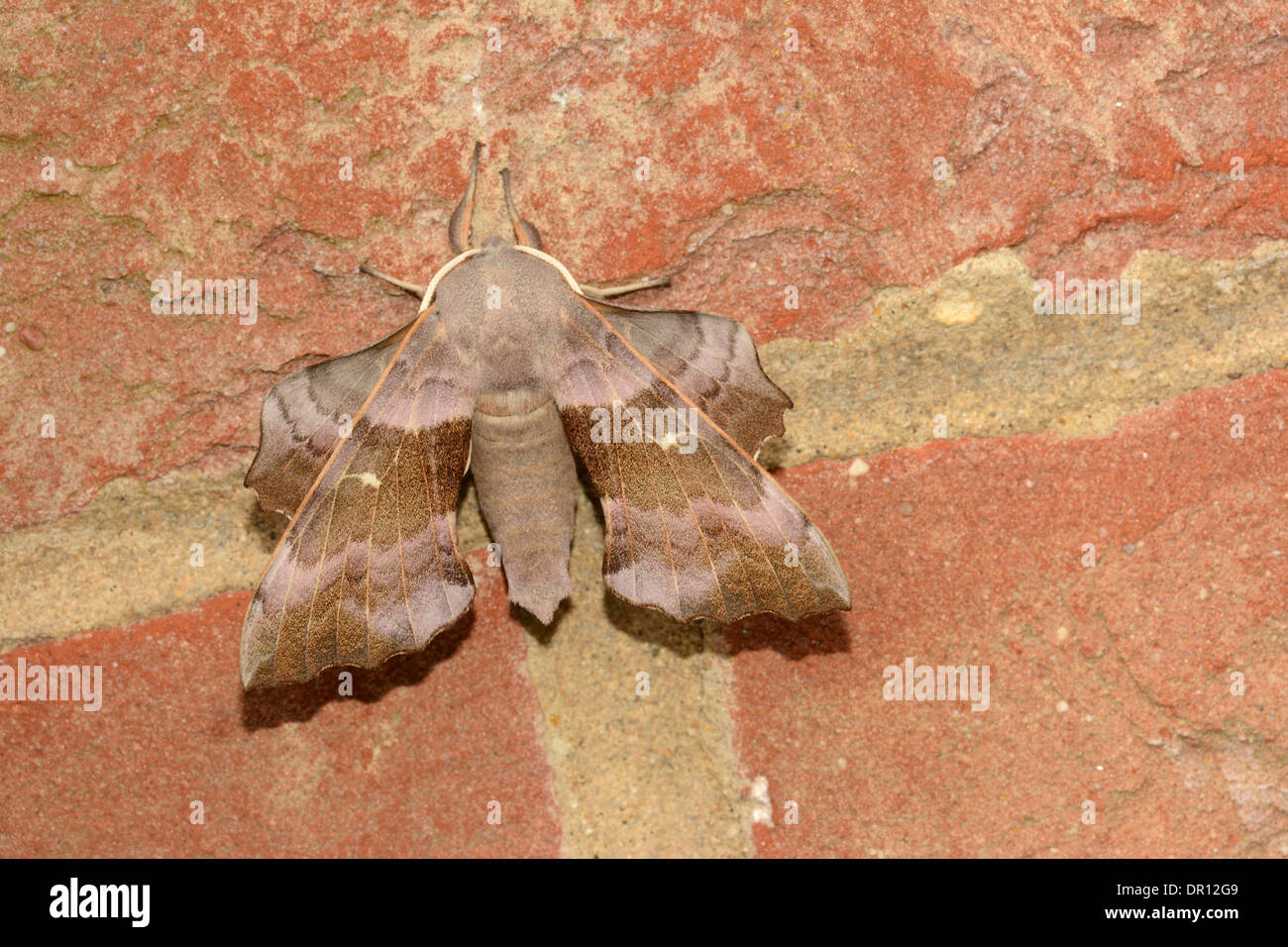 Poplar Hawkmoth (Laothoe populi) pink coloured adult at rest on brick wall, Oxfordshire, England, July - Stock Image