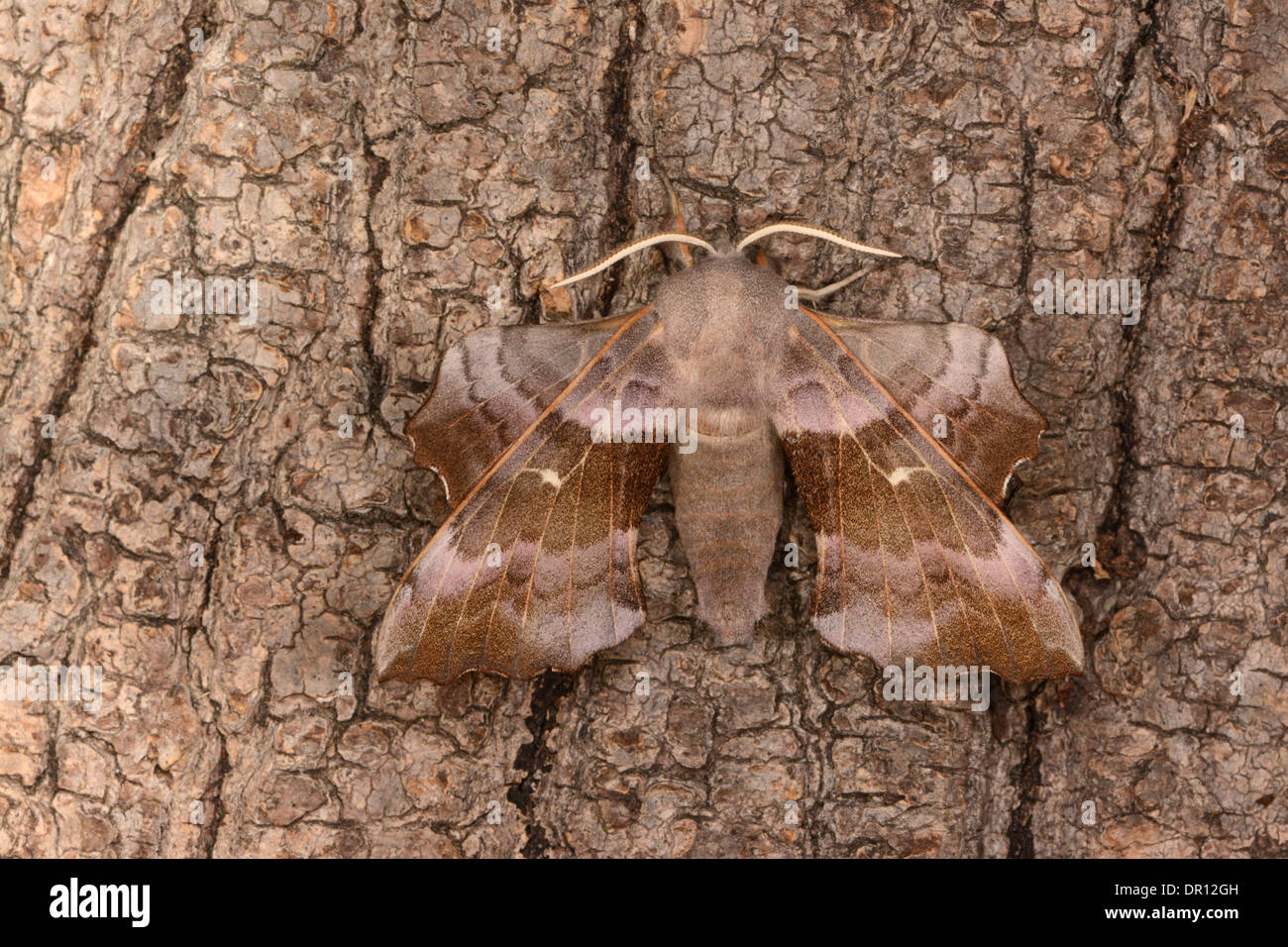Poplar Hawkmoth (Laothoe populi) pink coloured adult at rest on tree trunk, Oxfordshire, England, July Stock Photo