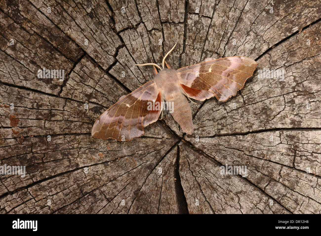 Poplar Hawkmoth (Laothoe populi) pink coloured adult at rest on tree stump, showing hindwings, Oxfordshire, England, Stock Photo