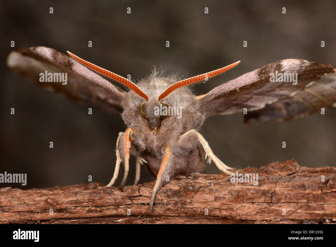 Poplar Hawkmoth (Laothoe populi) adult with wings raised, about to fly, Oxfordshire, England, July - Stock Image