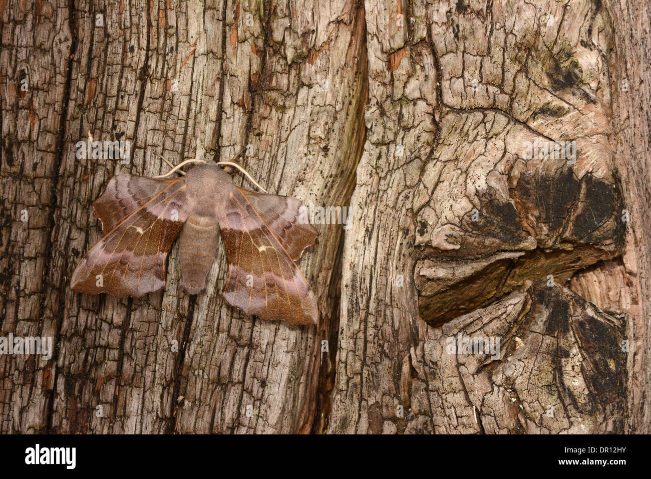 Poplar Hawkmoth (Laothoe populi) pink coloured adult at rest on tree, Oxfordshire, England, July Stock Photo