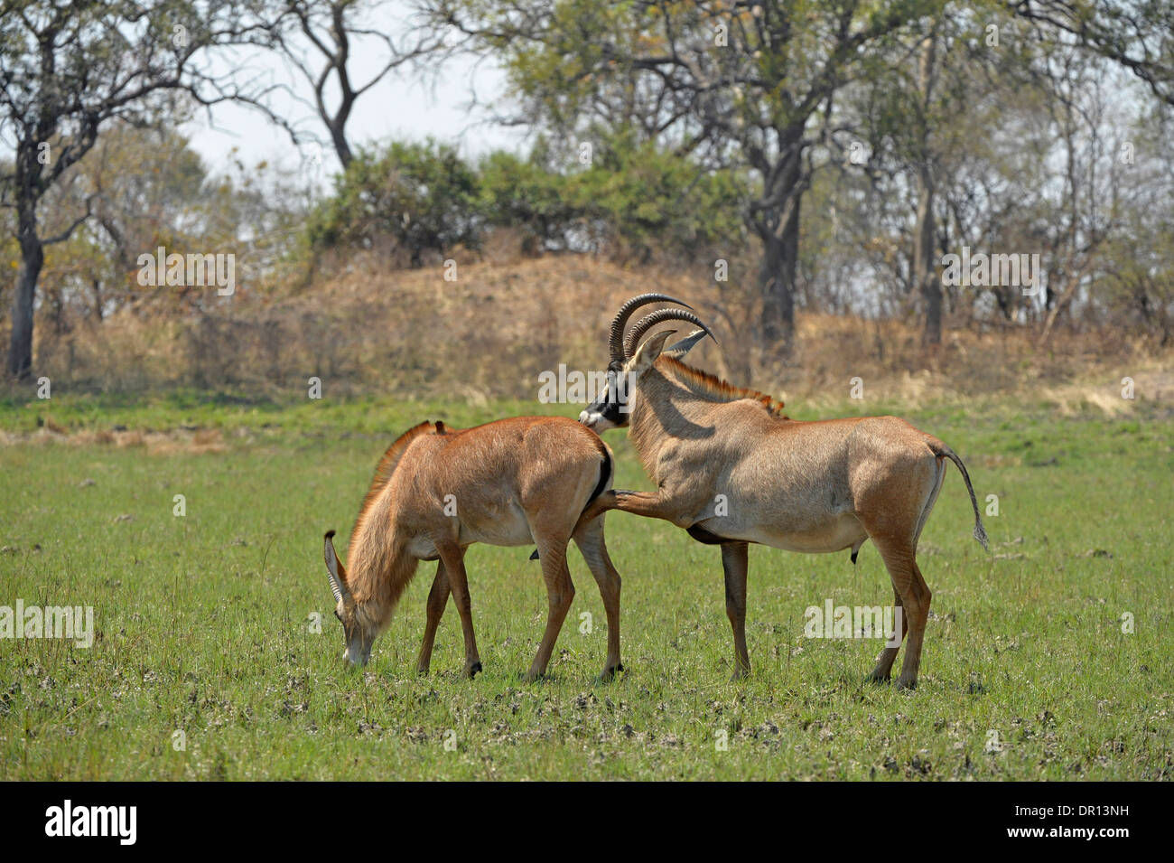 Roan Antelope (Hippotragus equinus) male displaying interest in mating with female, Kafue National Park, Zambia, September - Stock Image