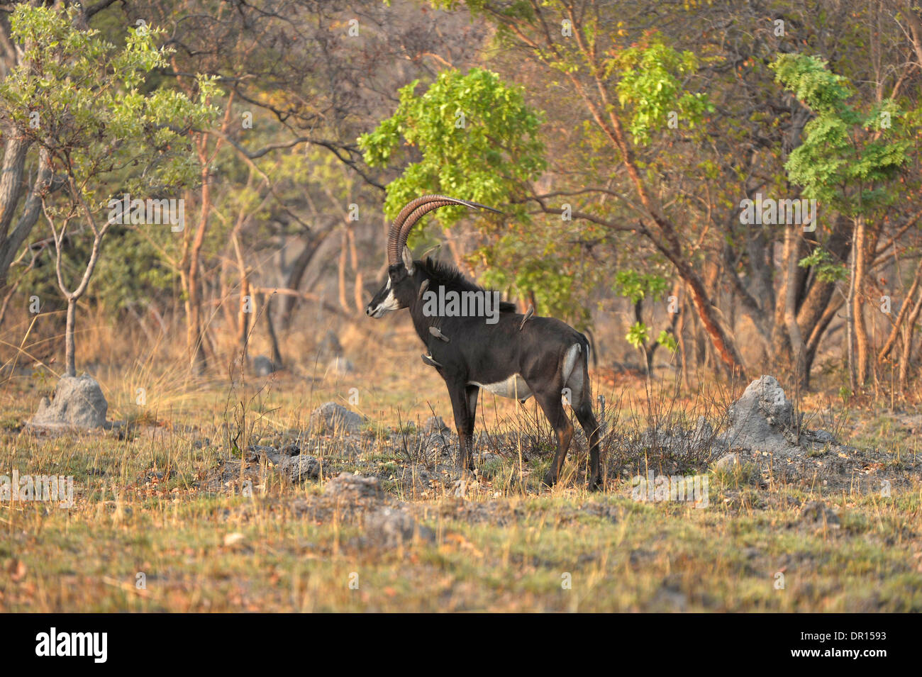 Sable Antelope (Hippotragus niger) male standing in bush clearing, Kafue National Park, Zambia, September - Stock Image