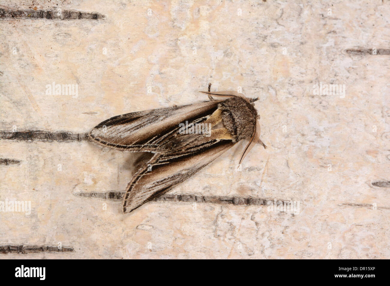 Swallow Prominent Moth (Pheosia tremula) adult male at rest on silver birch tree, Oxfordshire, England, August - Stock Image