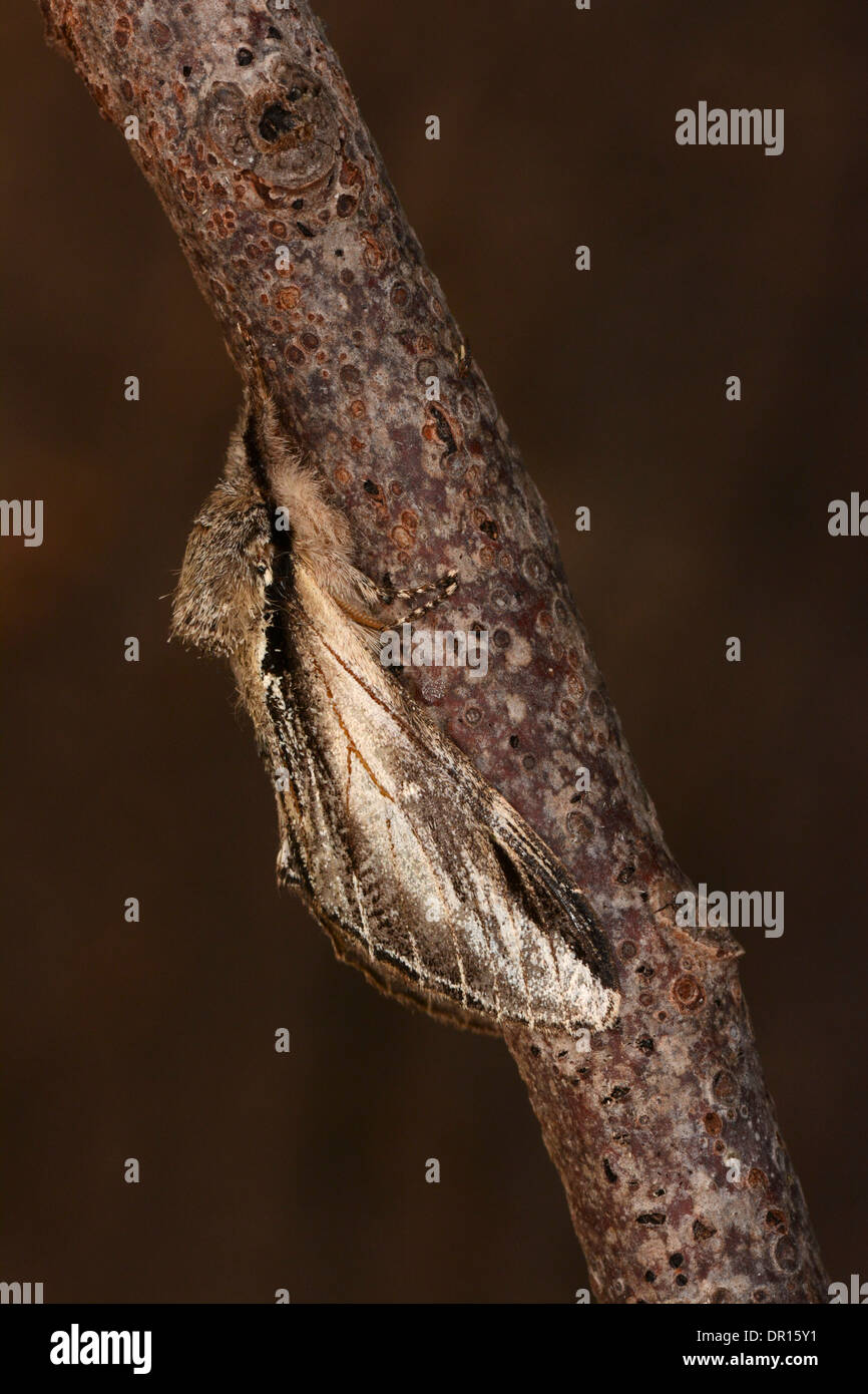 Swallow Prominent Moth (Pheosia tremula) adult at rest on twig, Oxfordshire, England, August - Stock Image