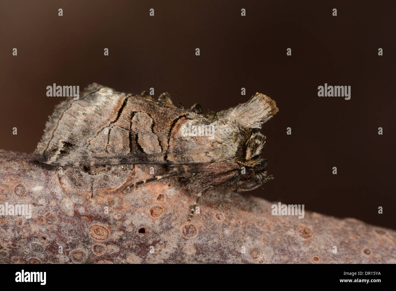 The Spectacle Moth (Abrostola triplasia) adult at rest on twig, Oxfordshire, England, August - Stock Image