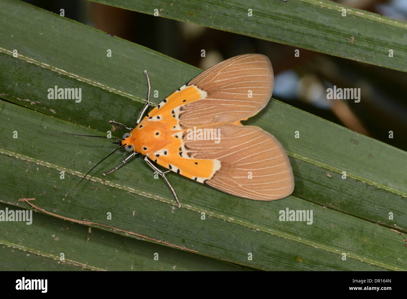 Specious Tiger Moth (Asota speciosa) adult moth resting on leaf, Kafue National Park, Zambia, September Stock Photo