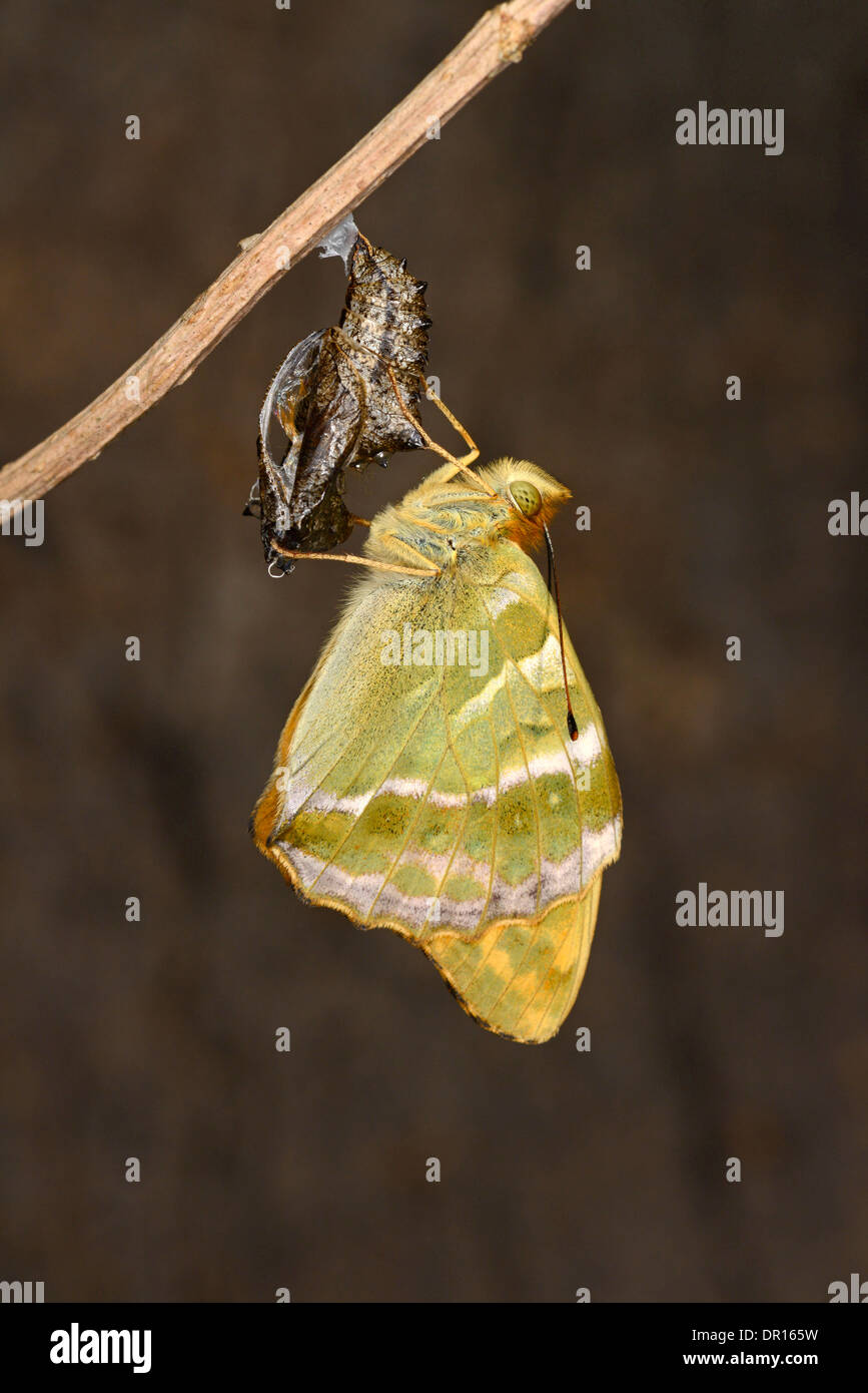 Silver-washed Fritillary Butterfly (Argynnis paphia) newly emerged adult clinging to empty pupa, Oxfordshire, England, JKune - Stock Image