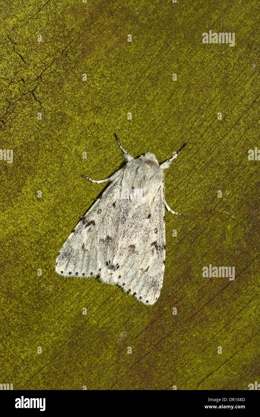 The Miller Moth (Acronicta leporina) adult at rest on fence, Oxfordshire, England, July - Stock Image