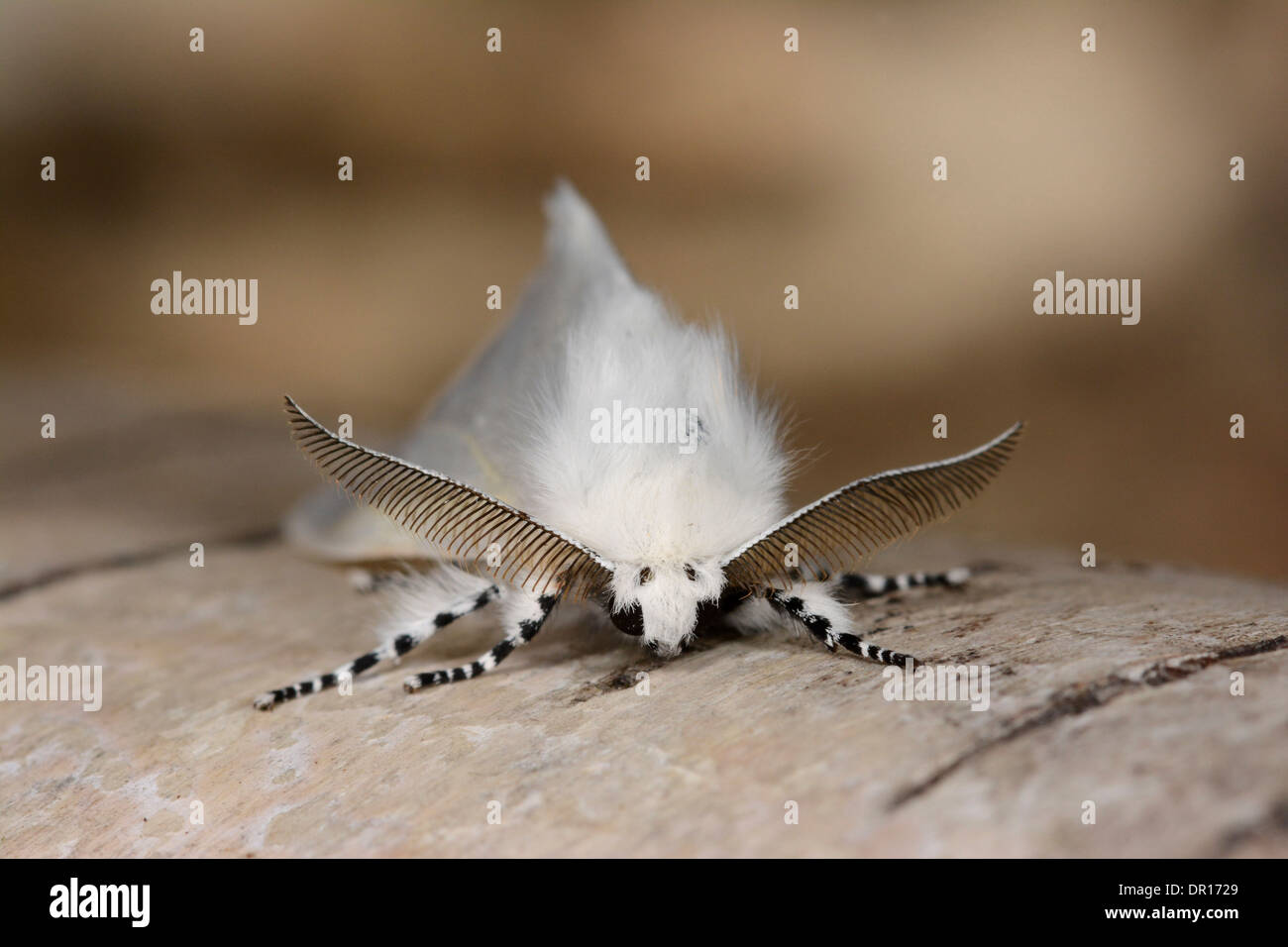 White Satin Moth (Leucoma salicis) male at rest on silver birch, showing antennae, Oxfordshire, England, July - Stock Image