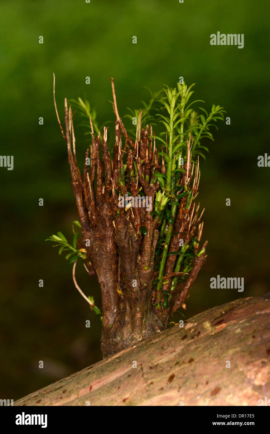 Yew Tree (Taxus baccata) new growth sprouting from old branch, Oxfordshire, England, July - Stock Image