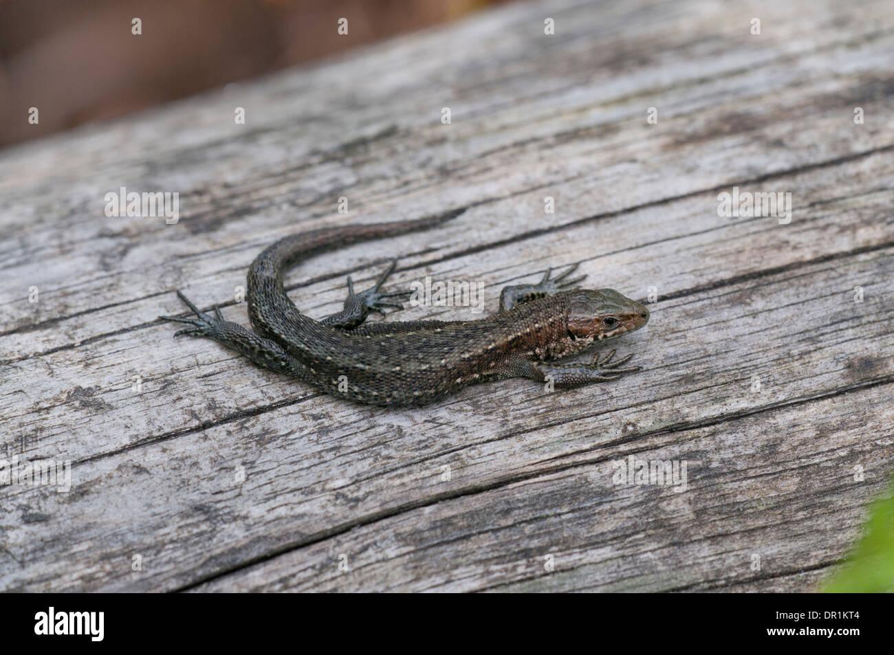 Common or viviparous lizard (Zootoca vivipara) Stock Photo