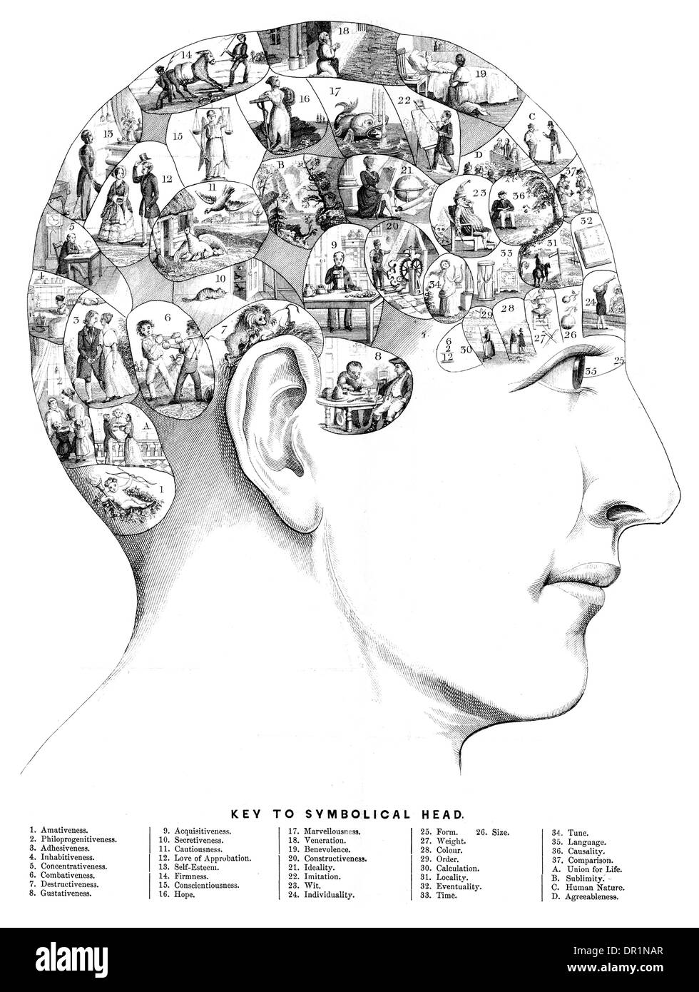 Phrenology is a pseudoscience primarily focused on measurements of the human skull circa 1800 - Stock Image