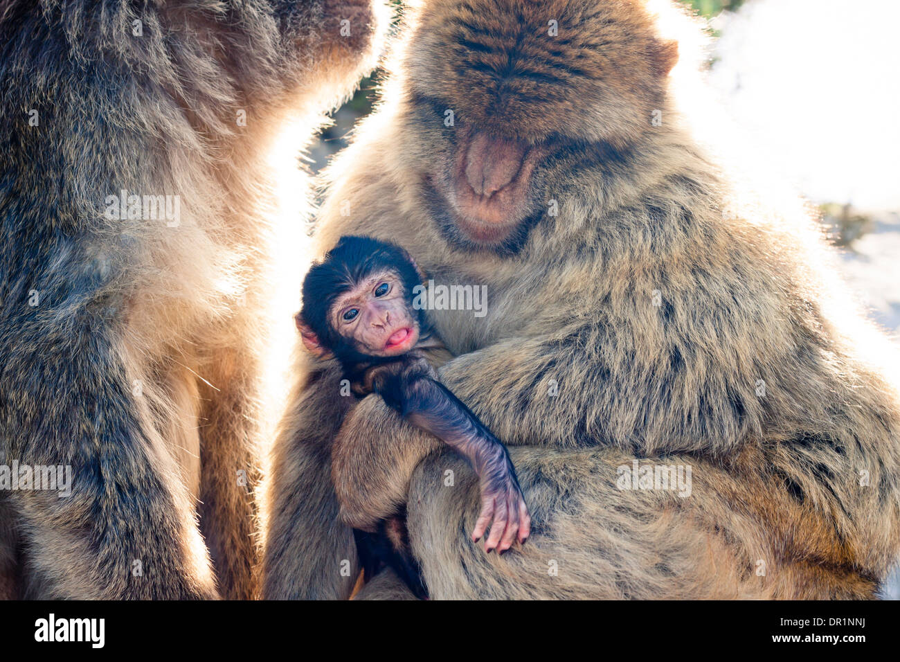 Barbary Macaques in Gibraltar. - Stock Image