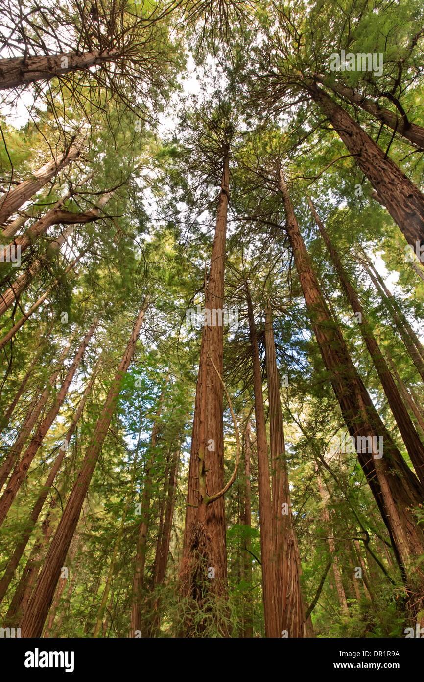 Redwoods, Muir Woods National Monument, California USA - Stock Image