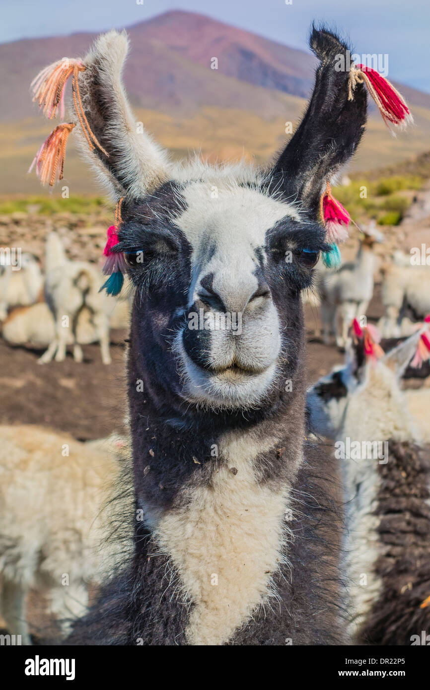 Head and neck of a llama facing forward with ears decorated with red feather-like markers indicating who the owner is. - Stock Image
