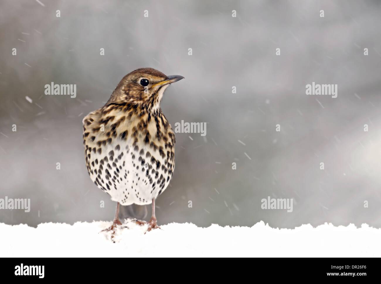 Song Thrush-Turdus philomelos In Snow. Winter, Uk - Stock Image