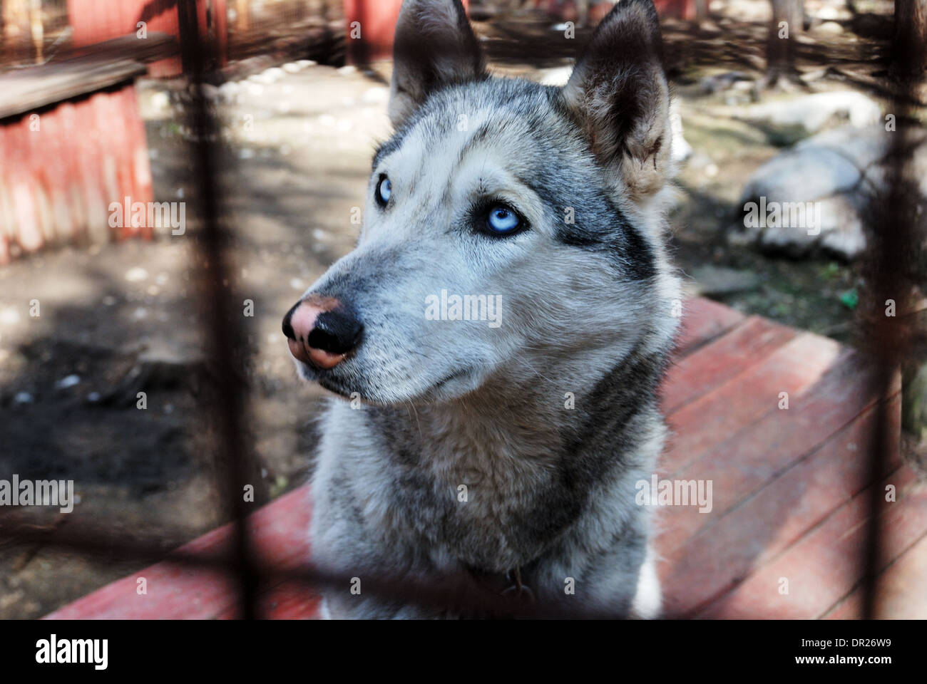 sad and tearful husky behind in iron cage - Stock Image