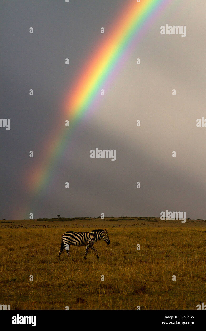 Zebra, Equus burchellii under a rainbow - Stock Image