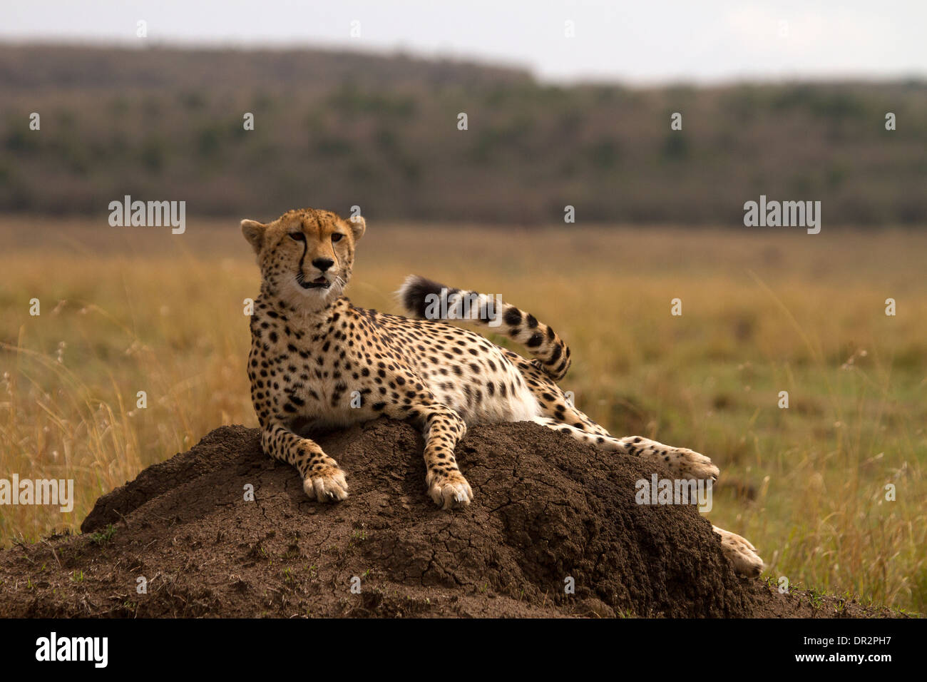 Cheetah, Acinonyx jubatus relaxing on a termite mound - Stock Image